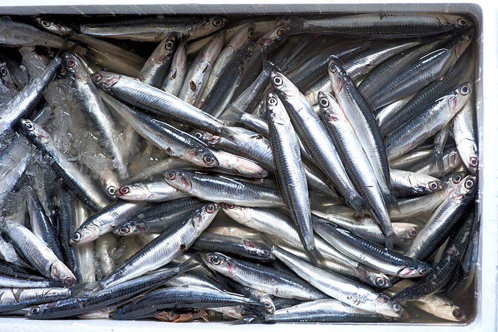 aringhe-mavi-pesca